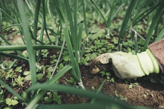 手作業で畑の草を抜く農業従事者
